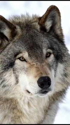 Lobo - SAVE THE WOLVES