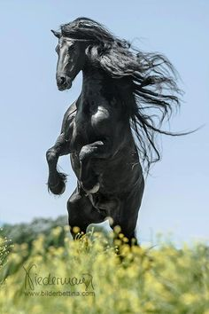 The Friesian is a horse breed originating in Friesland, Netherlands. Although the breed's conformation resembles that of a light draft horse, Friesians are graceful and nimble for their size. During the Middle Ages, it is believed that the ancestors of Friesian horses were in great demand as war horses throughout continental Europe.