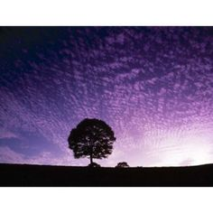 Silhouette of solitary tree with purple sunset Canvas Art - Panoramic Images (16 x 13)