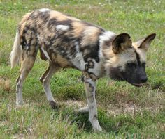 African Wild Dog (Lycaon pictus) Reference Images, Drawing Reference, African Wild Dog, Wild Dogs, Animal Heads, African Animals, Wild Life, Boxers, Predator