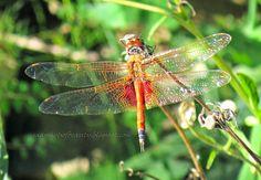 Snapshots of Beauty: DRAGONFLIES