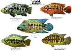 Parachromis.jpg