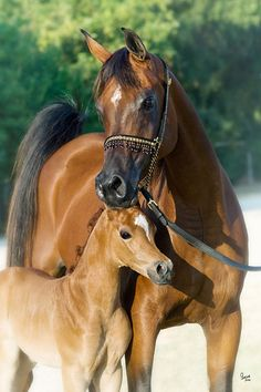 Thee Scarlet Lady and Mishaal HP foal
