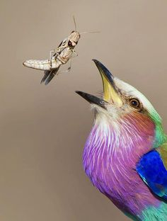 My favourite African bird - Lilac-breasted Roller ... spectacular photo by Chris Kotze via @Africa Geographic