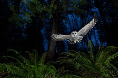 A female Barred Owl swoops through an urban forest in Burnaby, B.C, Canada. Subject attracted with a dead mouse.  Image ©Connor Stefanison