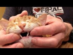 How to Brush Your Cat's Teeth?