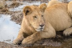 The five cubs on the Jao Concession are doing really well and are regularly seen on drives on Hunda Island. Okavango Delta, Cubs, Wilderness, Safari, Camping, Island, Canvas, Pictures, Animals