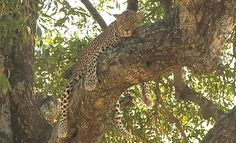 The resting Queen! #Karula on #SafariLive with @BrentLeoSmith 6-23-15