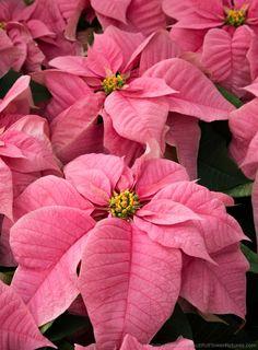 Santa Claus Pink Poinsettia © 2015 Patty Hankins