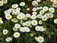 BELLIS_PERENNIS_GALAXY_WHITE