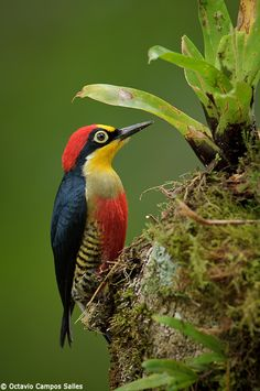 ✰ Yellow-Fronted Woodpecker ✰  It is found in Argentina, Brazil, and Paraguay.