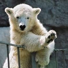 HIGH 5     ~~ursus maritimus * ~ polar bear by ewaldmario~~