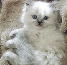 persian kitten with blue eyes