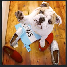 Me too! This cute #bulldog put his paws up for One Day #WithoutShoes 2014