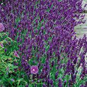 Munstead Lavender Seeds#lavender #munstead #seeds Dark Flowers, Fresh Flowers, Dried Flowers, Lavender Varieties, Lavender Seeds, Meadow Garden, Lavandula, Downy, Trumpet