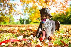 Hipster Queen petsitting - Oct 7 to 10th 2016 #greyhound #greyhounds #dog #rescue #sighthound #hound #dogrescue #petsitting #pet #animal #greyhoundrescue