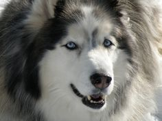 WOOLY HUSKIES were bred for their beautiful heavy coat. They adjust very quickly to different climates, as long as they have shade and plenty of water, they do just fine.