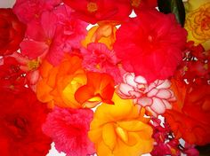 Tuberous Begonias, you just have to marvel at them.
