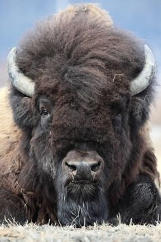 """A Wood Bison: The U. Fish & Wildlife Service published a special rule that will help clear the way to reintroduce, the once thought extinct: """"Wood Bison"""" back into their historic range in Alaska. Nature Animals, Animals And Pets, Cute Animals, Strange Animals, Wild Animals, Beautiful Creatures, Animals Beautiful, Majestic Animals, Photo Animaliere"""