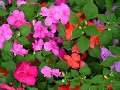 Como cuidar das alegrias. As alergias são flores procedentes do continente africano mas estão presentes hoje em dia em todo o mundo. Também são conhecidas como alegrias da casa ou alegrias do lar, entre outros muitos nomes, e ...