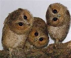 more baby owls
