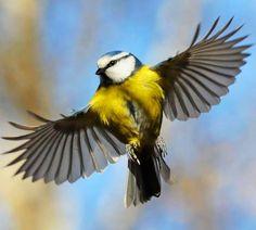Flying blue tit Bird via Carol's Country Sunshine on Facebook