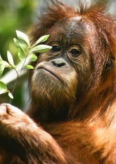 Baby Orangutan with a small branch by alan shapiro photography, via Flickr
