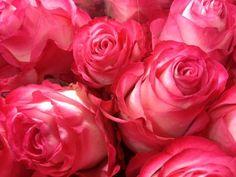 Rose Ecuador High and Candy www.vandijkbloemen.nl