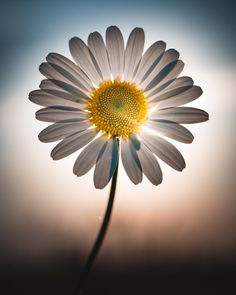Beautiful flowers More at @ Happy Flowers, All Flowers, Beautiful Flowers, Flowers Garden, Beautiful Life, Congratulations Photos, Sunflowers And Daisies, Daisy Love, Flower Wallpaper