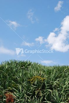 Dragon Blood Tree (sky Background) Stock Image