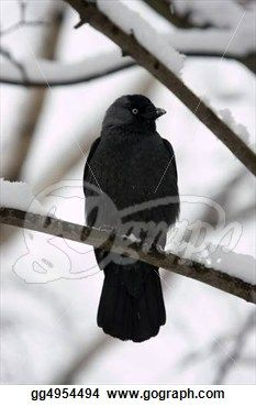 """jackdaw in winter"" - Winter Stock Photo from Gograph.com"