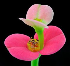 Crown Of Thorns (Euphorbia Milii)