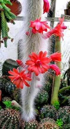 Cleistocactus winteri ssp. colademono https://plus.google.com/u/0/photos/110929773548029035191/albums/6105426023210827249/6105426026877297122?pid=6105426026877297122&oid=110929773548029035191