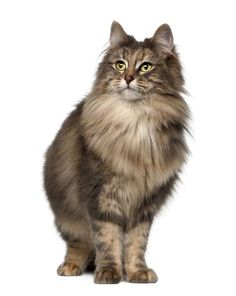 Norwegian Forest cat - #10 of 10 most beautiful cat breeds                                                                                                                                                                                 More
