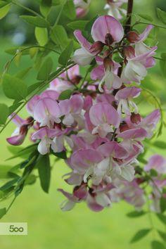 Robinia pseudoacacia. Douce colors.
