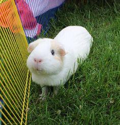 Why you so cute, Teddy?! Teddy the Guinea Pig & Friends (facebook)