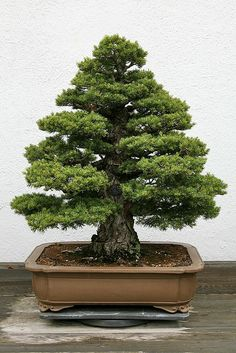 Bonsai - Japanese White Pine