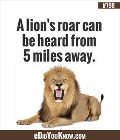 A lion's roar can be heard from five miles away. Wow Facts, Wtf Fun Facts, Random Facts, Random Stuff, Funny Stuff, New Things To Learn, Things To Know, The More You Know, Good To Know