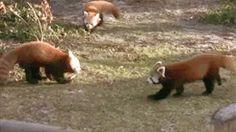 red panda animated GIF