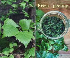Bříza bělokorá Korn, Herbs, Herb, Medicinal Plants