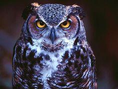 """Owl Ke Totke:-Owl Ke Totke , """" Owl vashikaran tantra sidhi tantrik paryog hindu dharam me dusra pavitra bird owl ko mana jata hai. lekin kuch log apni galat dharna ke chalte owl se darte hai. kintu yeh galat hai kyonki mata lakshmi ka vahan hai http://loveguruastrologer.com/owl-ke-totke/"""