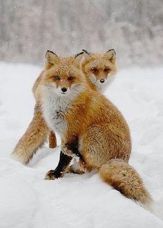 【狐】最高の癒し画像集【キツネ】 - NAVER まとめ