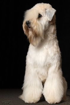 Erin - Soft Coated Wheaten Terrier - Photo by Ted Prescott - On The Spot Studios Dog Grooming Styles, Dog Grooming Salons, Pet Grooming, Terrier Breeds, Dog Breeds, Terriers, Pet Puppy, Dog Cat, Puppy Coats