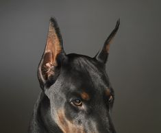 The Doberman Pinscher is among the most popular breed of dogs in the world. Known for its intelligence and loyalty, the Pinscher is both a police- favorite Perro Doberman Pinscher, Doberman Dogs, Weimaraner, Dobermans, Love My Dog, Rottweiler, Chien Dobermann, Black And Tan Terrier, Les Innocents