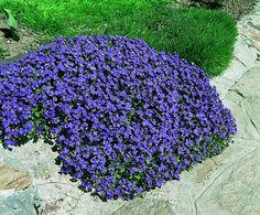 24 - 20 stk AUBRIETA hybrid (blåpude) - forskellige aubrieta hybrid blaumeise - Google-søk