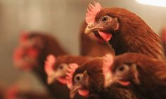 Meat eaters will consume more than 7,000 animals in their lifetime