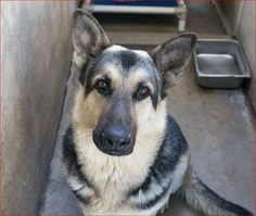 Rescuers trying for a miracle to save life of terrified German shepherd  I hope someone with patience and an understanding of dogs will adopt this stunning GSD.