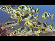 Reef Fishes - Reef Life of the Andaman - Part 9. This video features some of the pretty, colorful, tropical reef fishes found in Thailand and Burma. Much of the footage is from the Similan Islands and includes batfish, butterflyfish, angelfish and surgeonfishes.