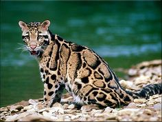 Clouded leopard - Neofelis Nebulosa One of the 7 big cat species Big Cats, Cool Cats, Cats And Kittens, Ocelot, Beautiful Cats, Animals Beautiful, Beautiful Creatures, Jaguar, Animals And Pets