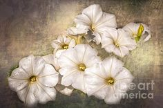 Beautiful white petunias in a flower box. A texture was added for interest.